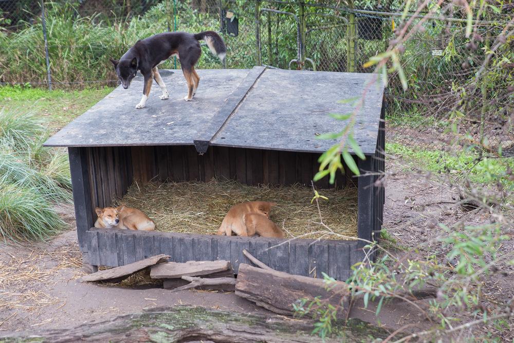 Dingo family