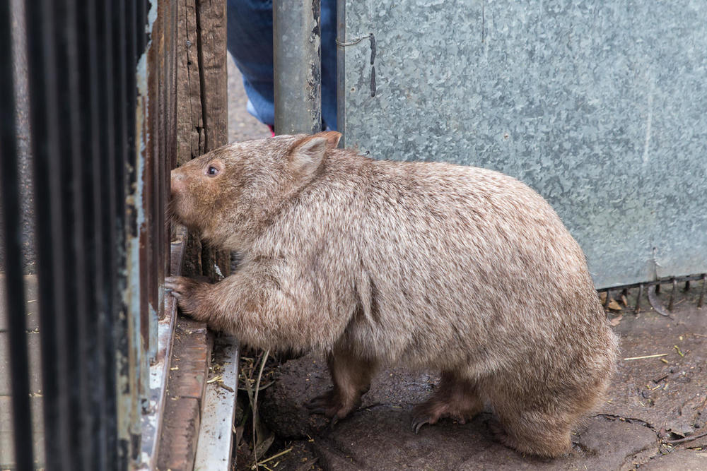 The wombat up at the fence