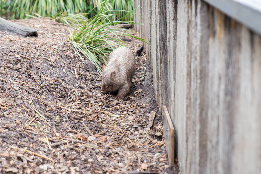 The wombat walking around