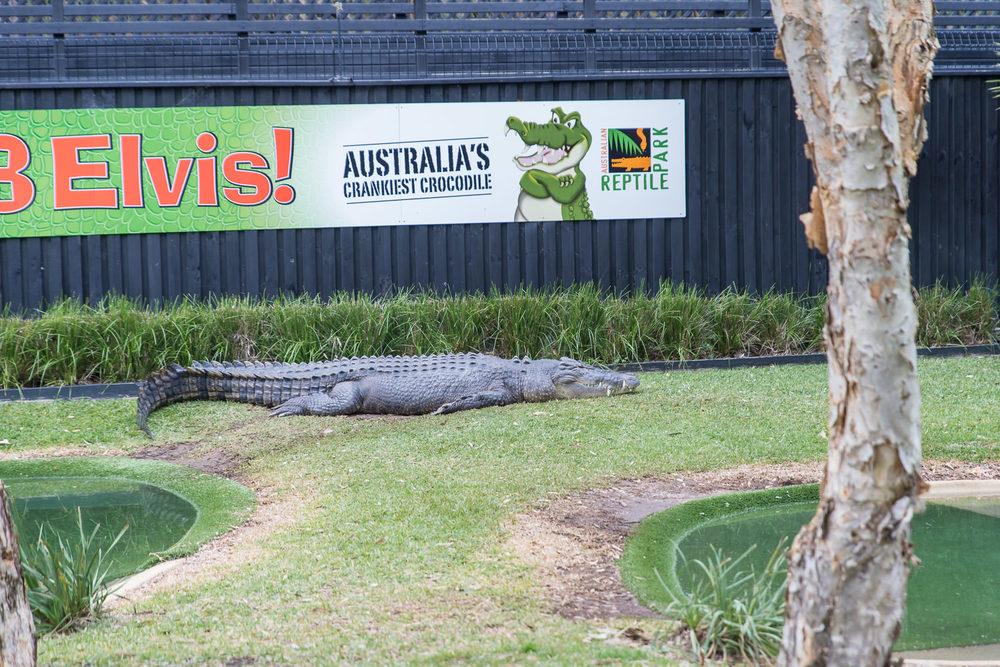 Elvis the crocodile