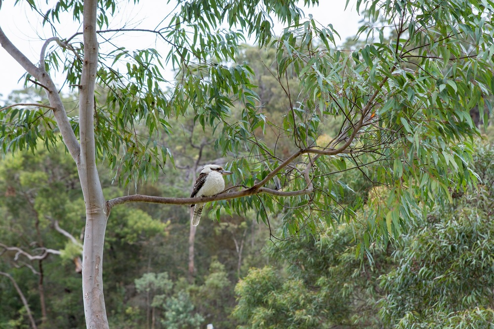 Kookaburra in the tree