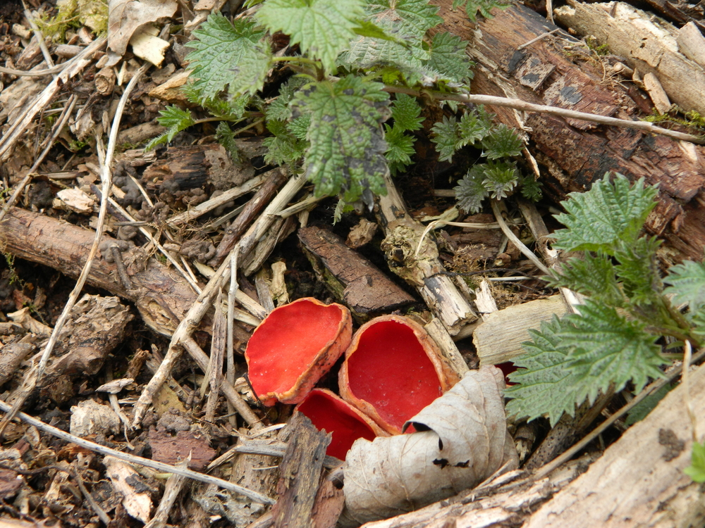 Scarlet Elf Cup.. : Sarcoscypha coccinea.JPG