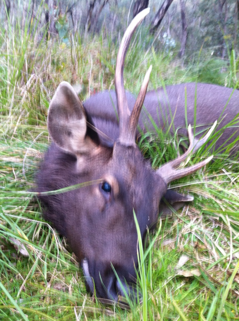 """Taken with a """"very"""" long shot. The stag was sitting high above a mob of deer just under the crest of a ridge."""