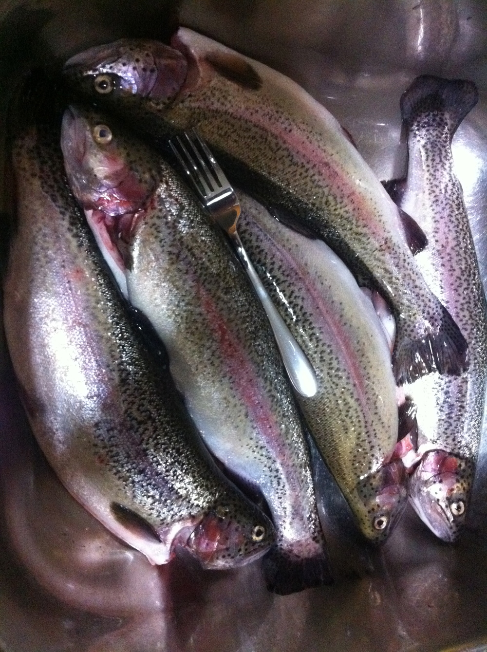 Well conditioned wild trout all cought on the fly just a short drive from the estate here from a private pond.