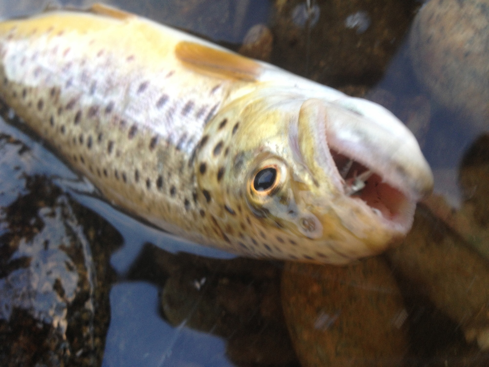 Mid-day dry fly fishing gin clear brooks.
