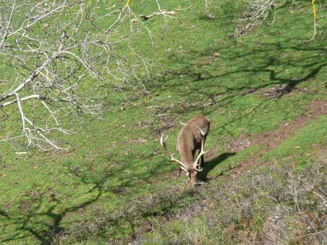A Red Stag foraging for any old walnuts that may remain under the tree.