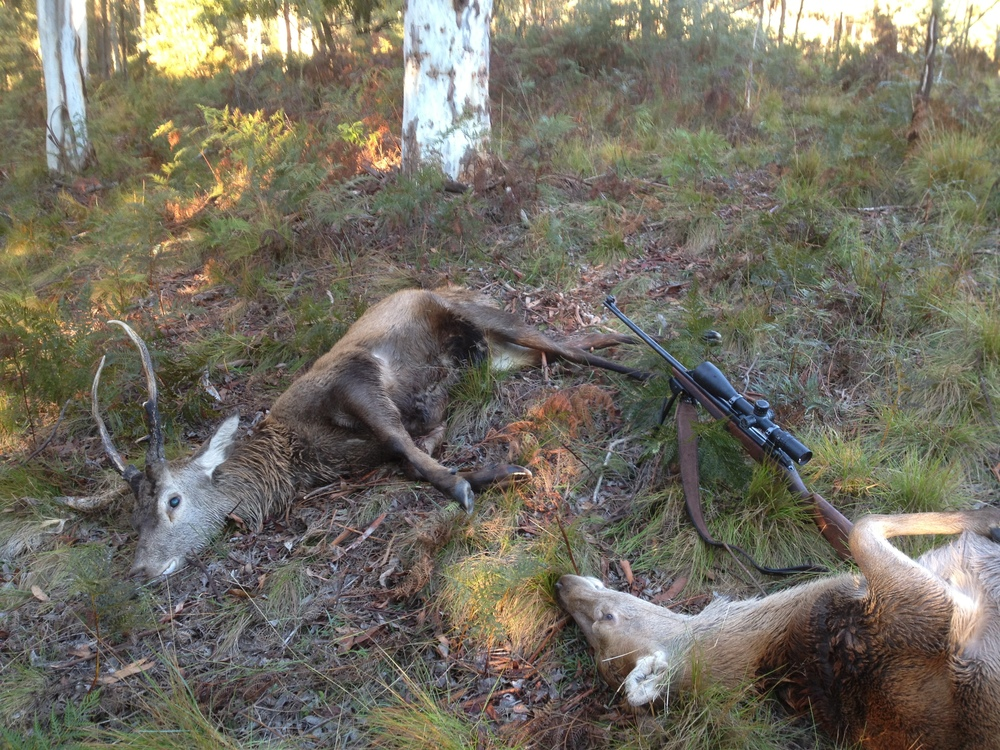 Two reds, a stag and doe shot one after the other as they fed on the far side of the valley with a .338