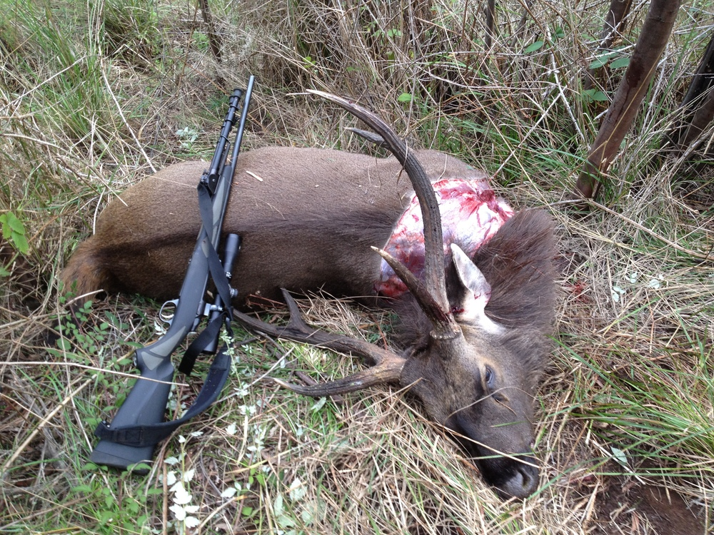 Another nice Sambar stag. This one to be be done into a traditional European mount.