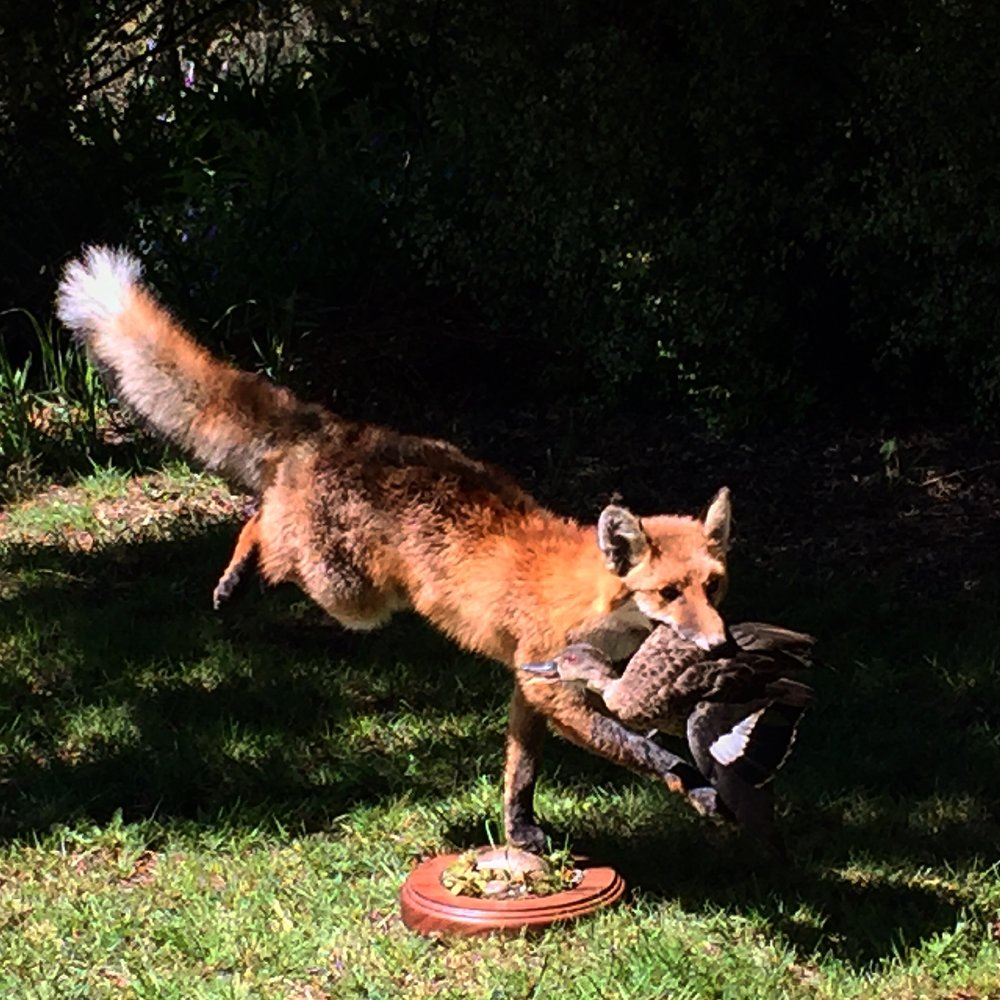 A full sized dog fox mount with a wild duck… Both from one of the estates extensive, private holdings.