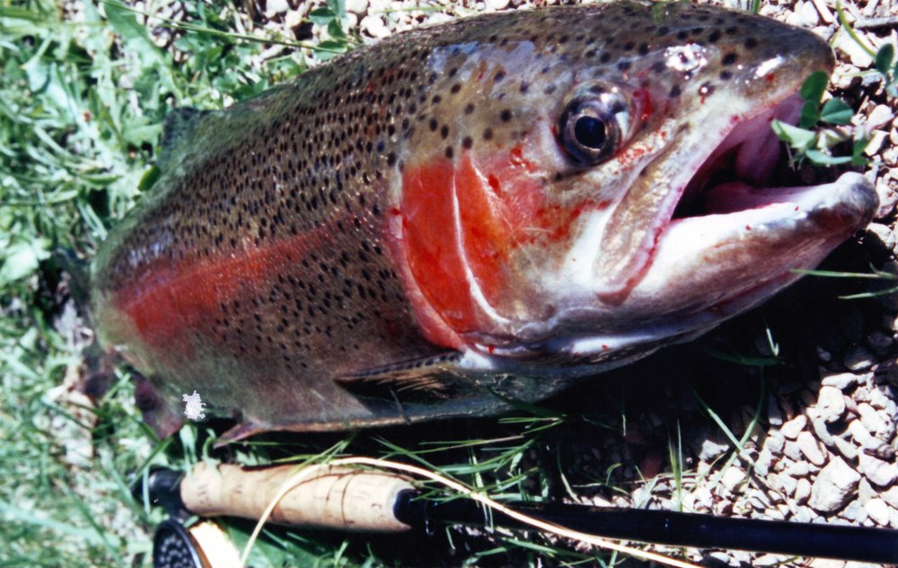 Summertime rainbow that came out from under a undercut bank and hit the dry very hard… Fly fishing small feeder streams here in the high country.