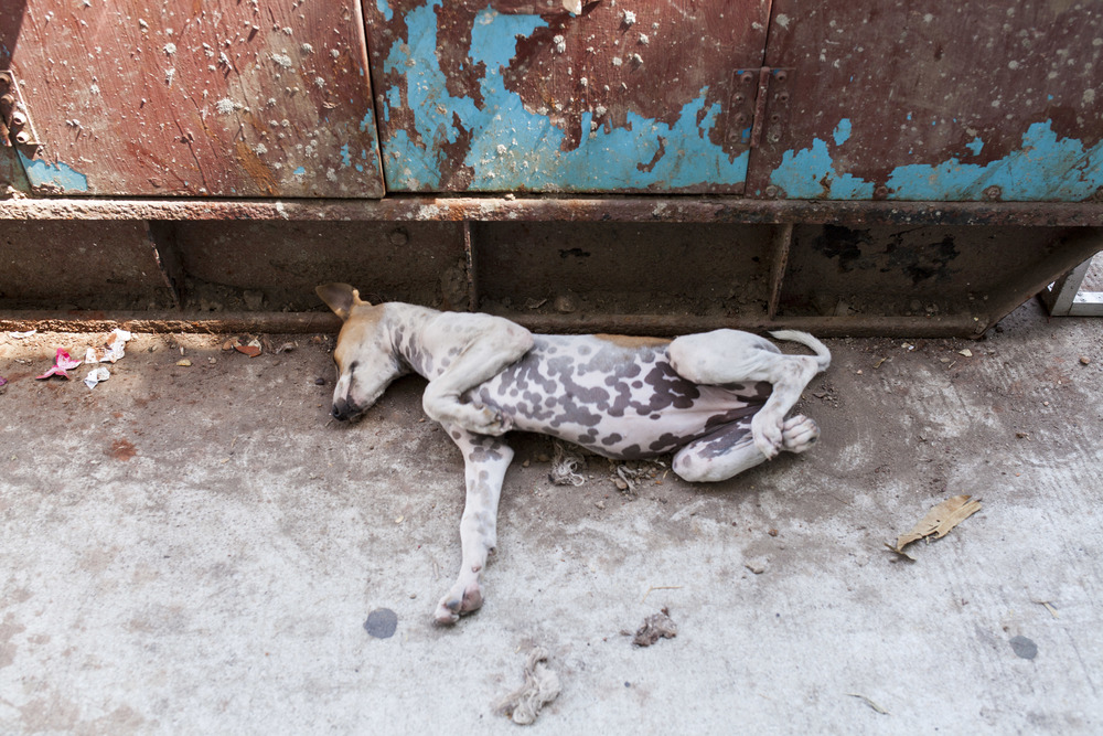 Gatehunder i Myanmar