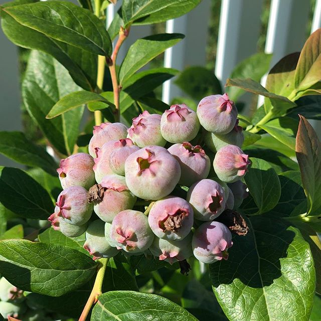 Eagerly watching these blueberries in our backyard. Hopefully we get them before the birds do. 🐦
