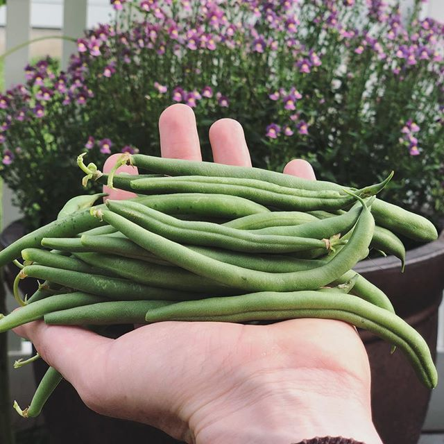 With all the company we've had I haven't had a chance to go grocery shopping. Super excited to just walk in the backyard and try out our green beans tonight. Hope you're all having a happy, safe Fourth of July!