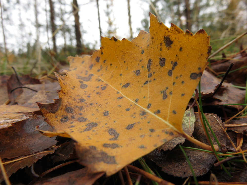 Birch litter leaf