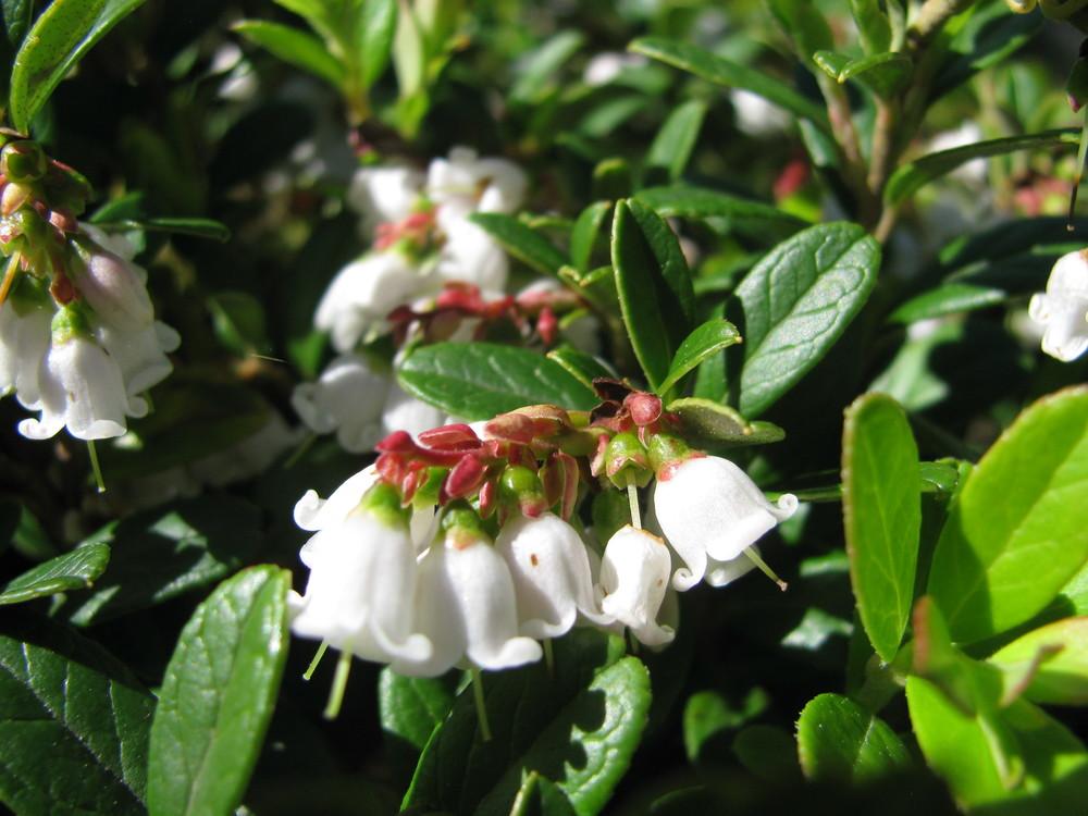 Lingonberry  (  Vaccinium vitis-idaea  ) in flower