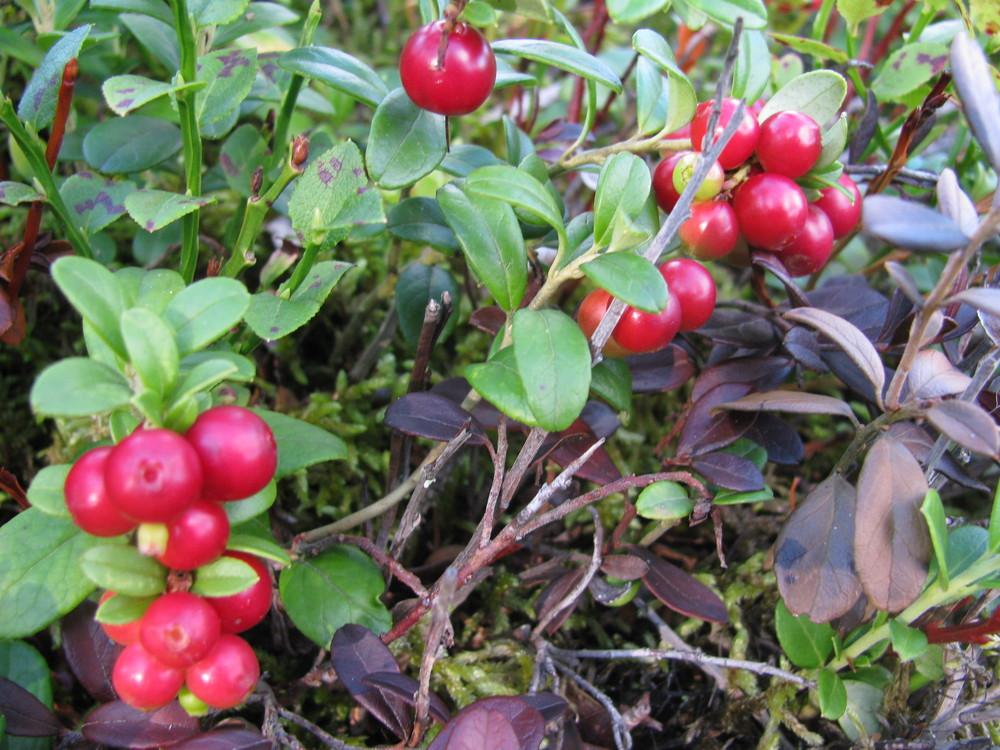 Lingonberry( Vaccinium vitis-idaea )