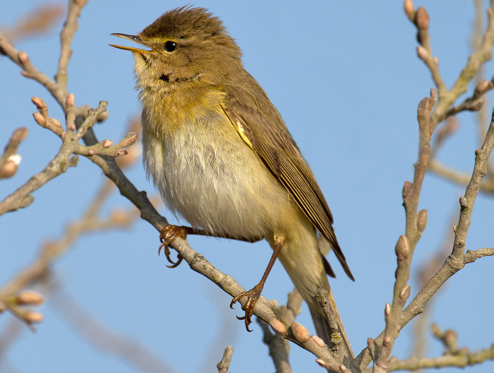 Willow warbler ( Phylloscopus trochilus )