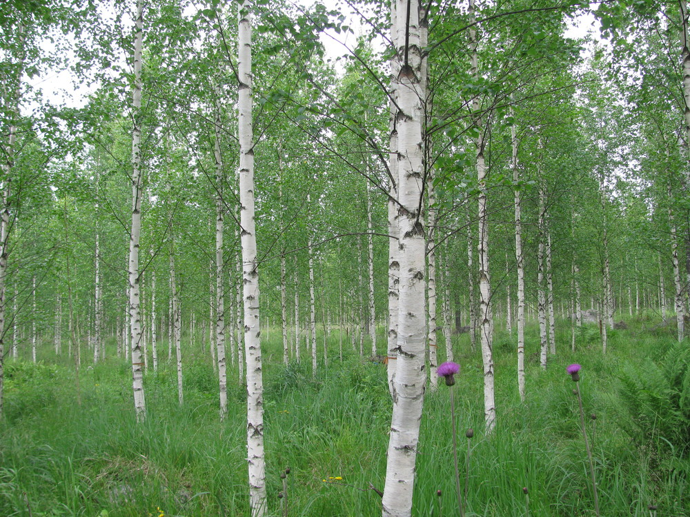 Birch clone plots in 2015