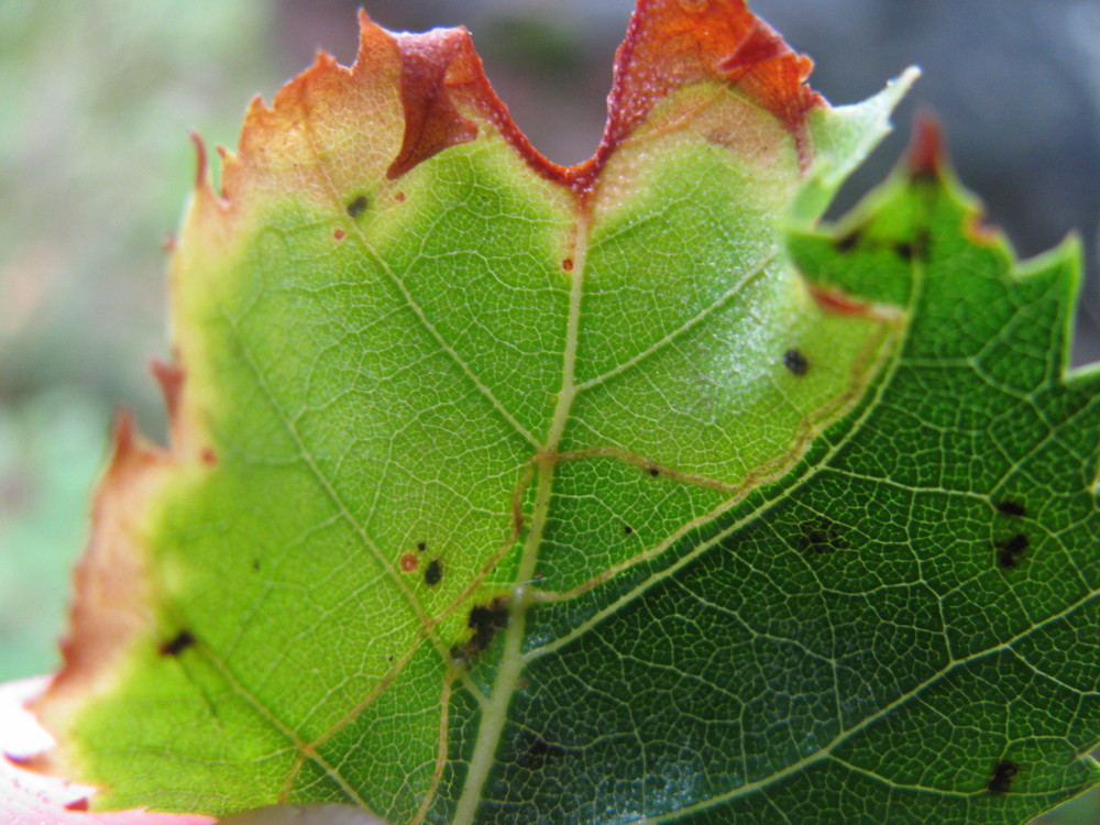 Mines of  Phylloporia bistrigella  on birch