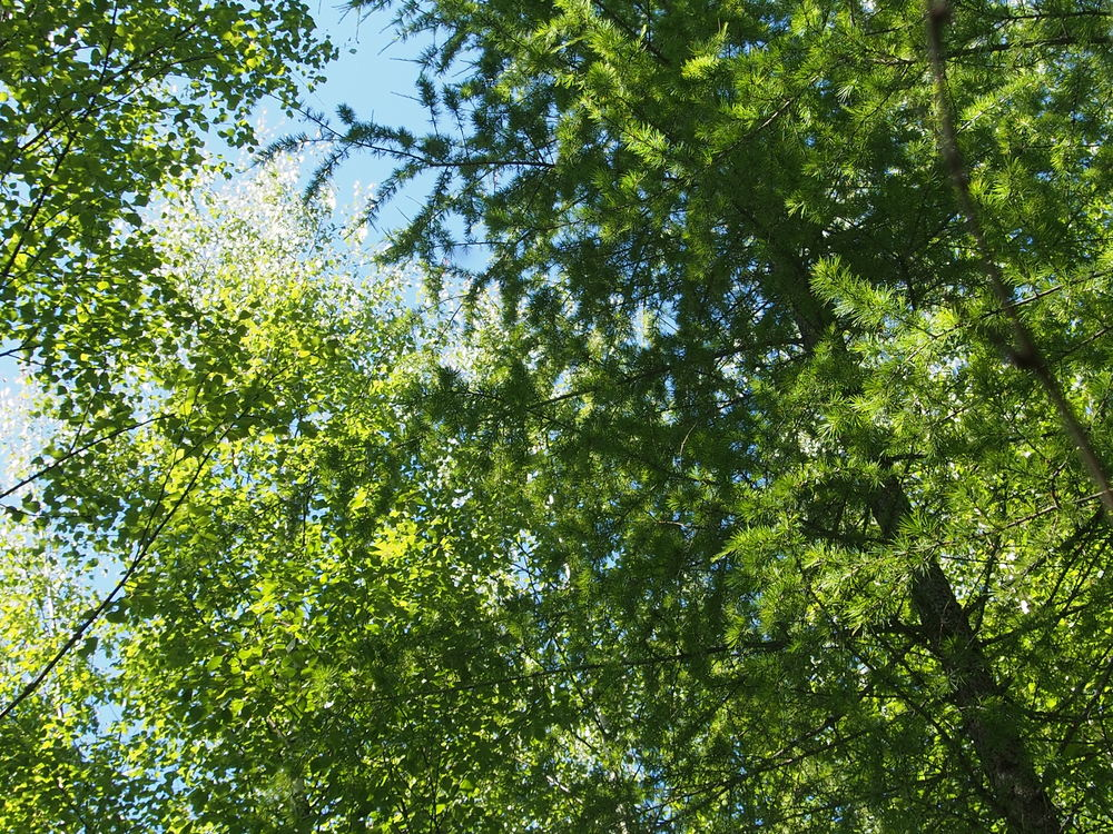Birch-Larch-Alder plot