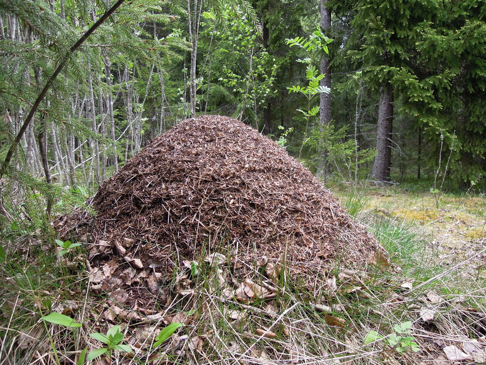 Wood ant nest