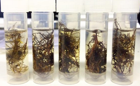 Fine root samples for fungal DNA analysis