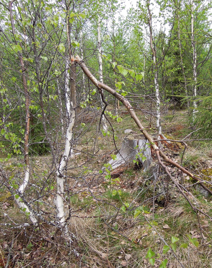 Moose damage on birch