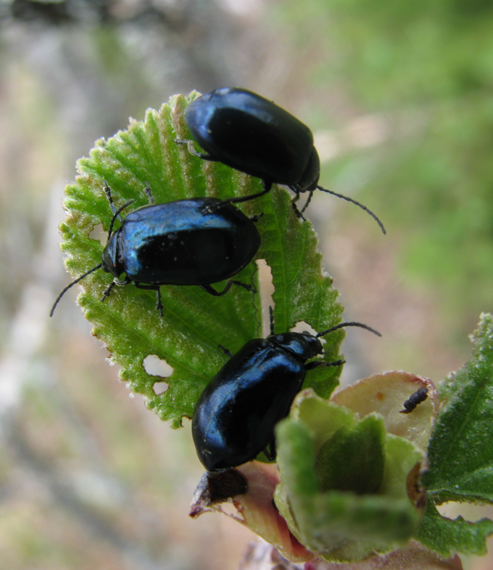 Agelastica alni beetles on alder