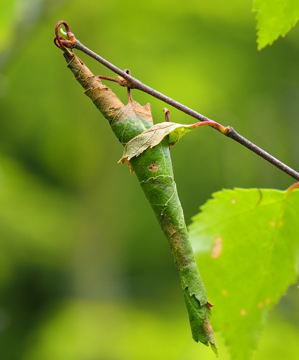 Leaf roller ( Byctiscus betulae ) on birch