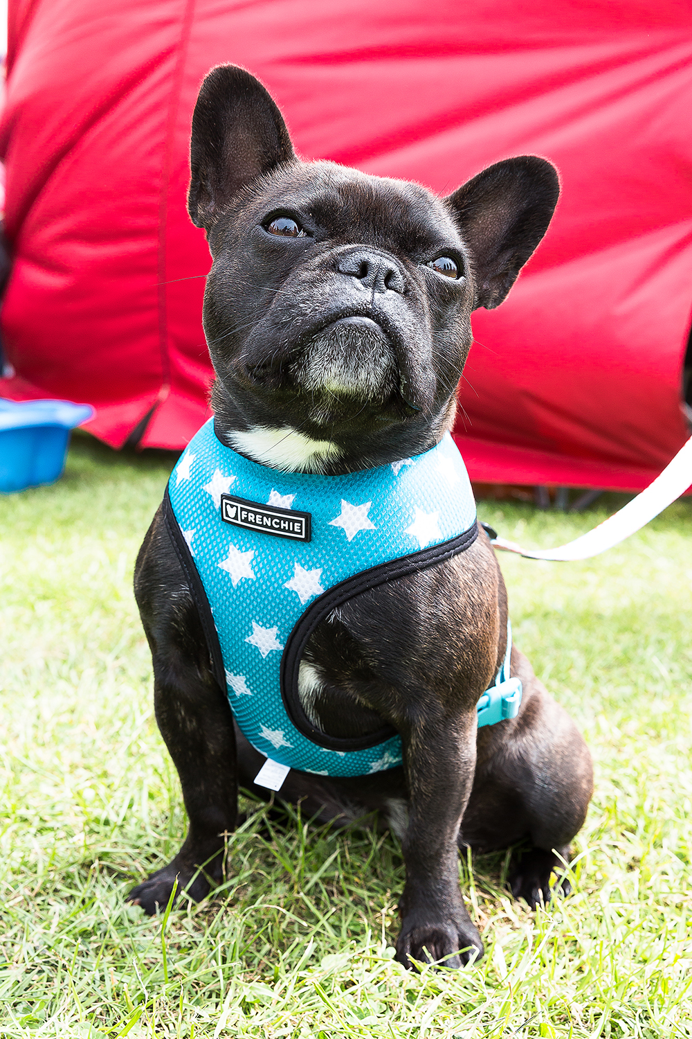 The french Bulldog at the Bulldog Bonanza