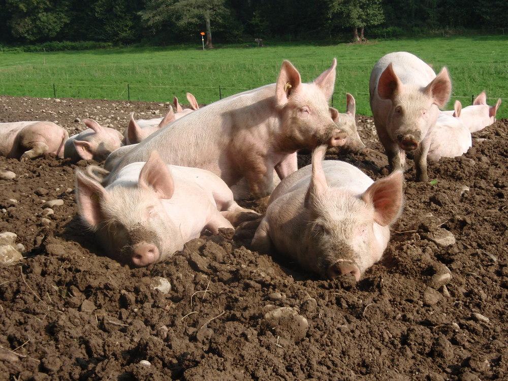 Unsere Freilandschweine fühlen sich sauwohl