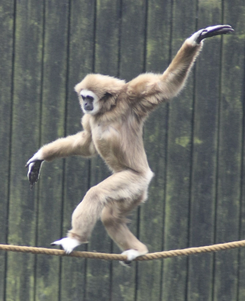 A gibbon learning to walk a tightrope instead of caring for his infant.   Image via  Flickr