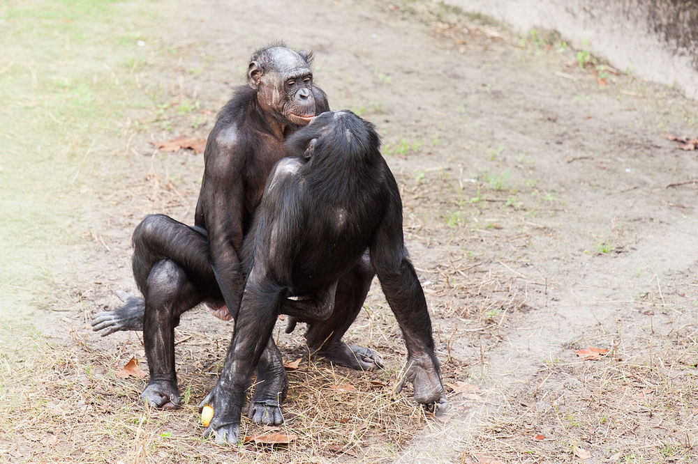Slutty bonobos