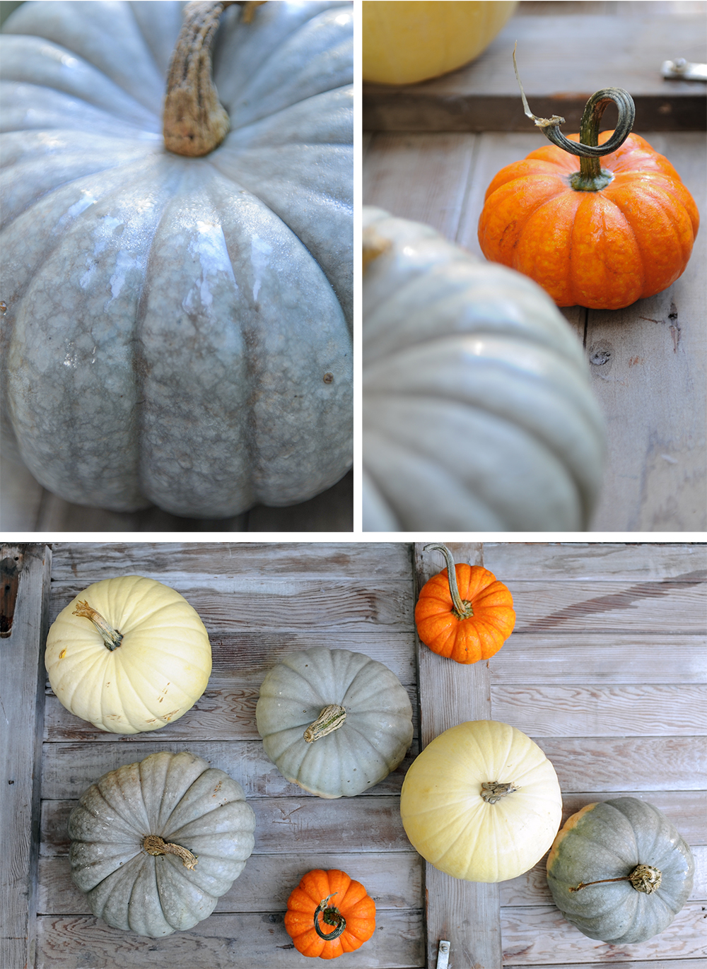 pumpkins Tracey Ayton Photography