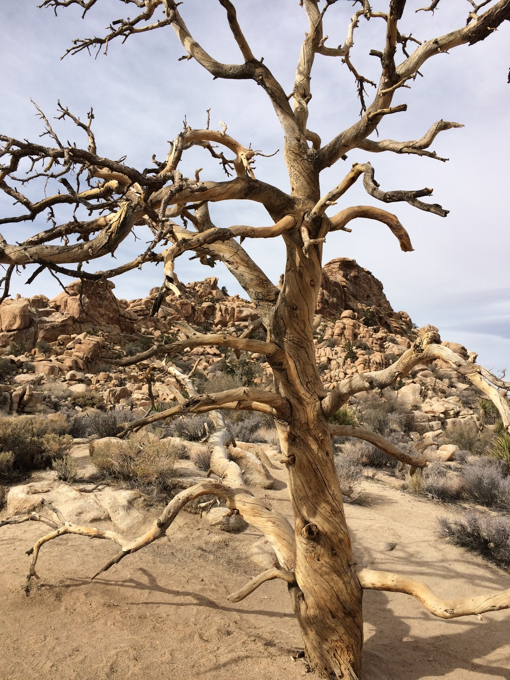 dead tree in desert