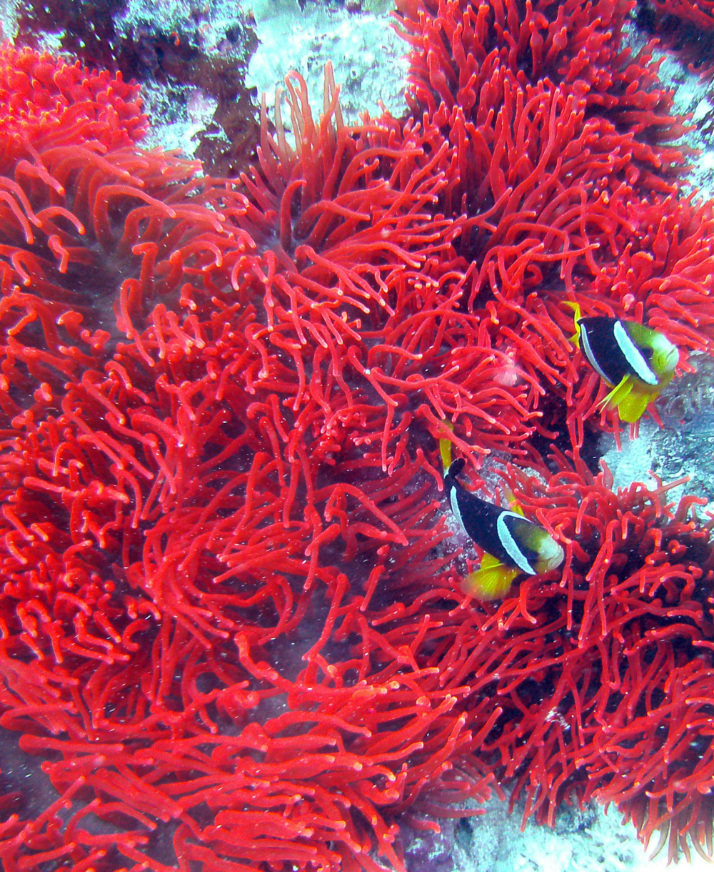 Red Sea Anemone, clown fish, Maldives.