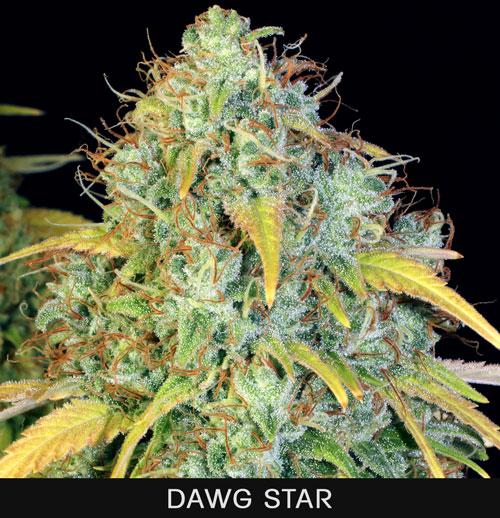 DAWG-STAR1.jpg