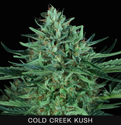 COLD-CREEK-KUSH.jpg