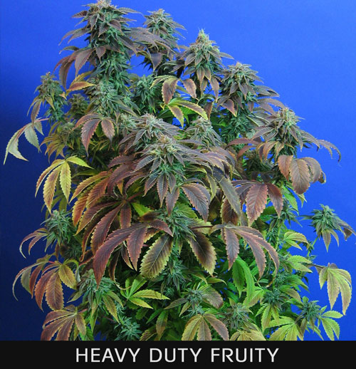 HEAVY-DUTY-FRUITY.jpg