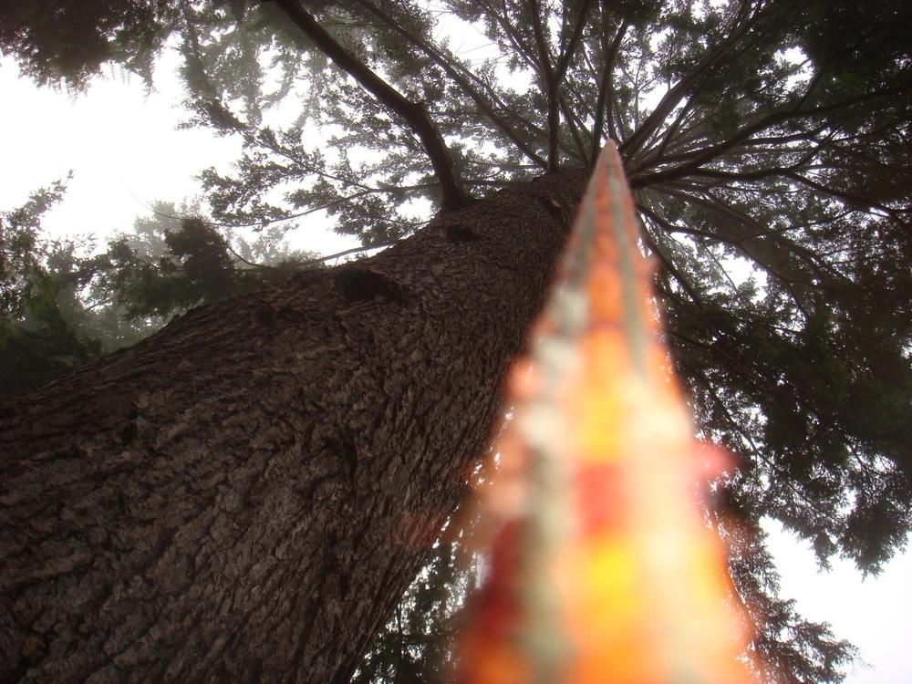 Giant Western Hemlock Prune