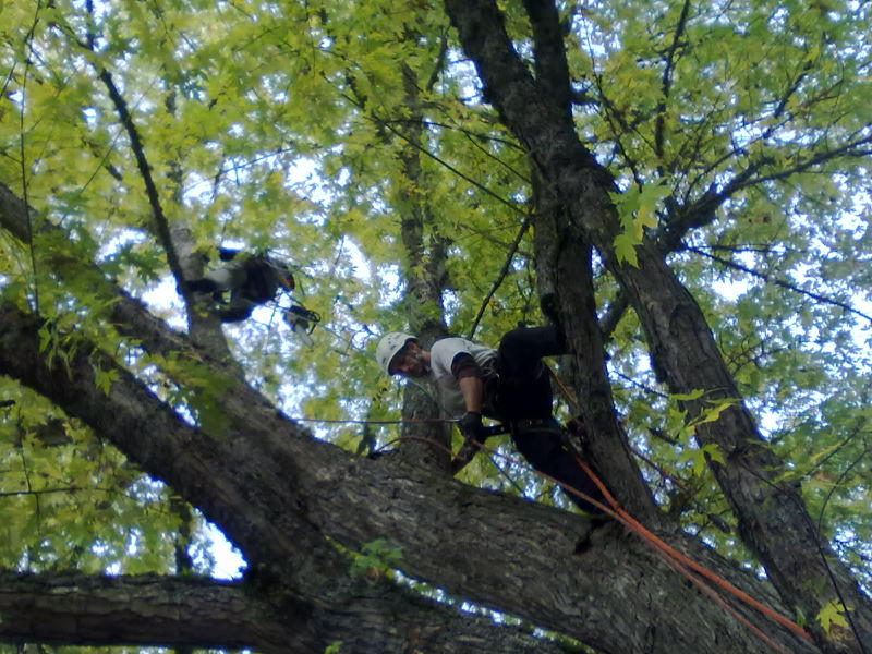 Swinging around with the crew pruning a large Silver Maple.