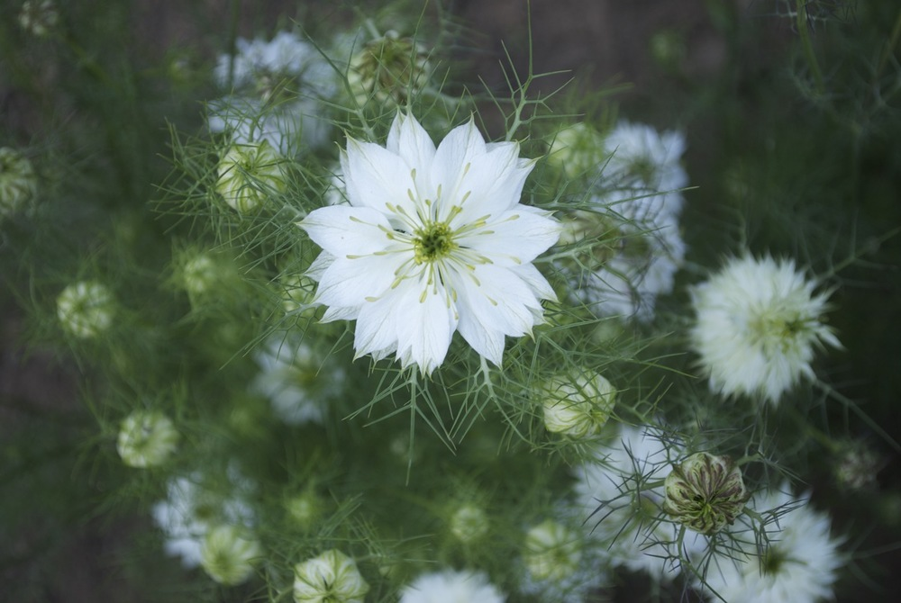 NIgella - both the seed pods and the flowers are so beautiful.
