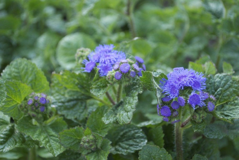 Ageratum - love this fuzzy purple flower! It only gets better with age - and has an awesome vase life.