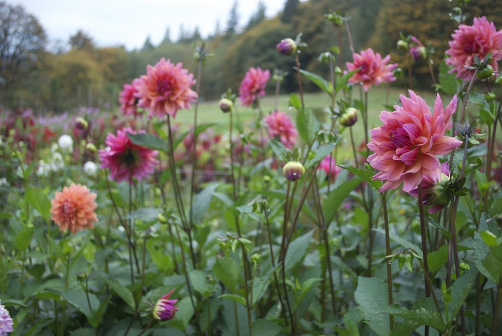 Dahlias in field.jpg