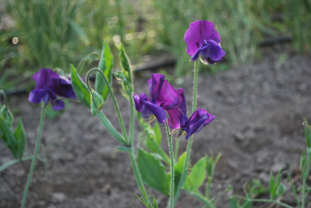 Sweet Peas Foothills Flowers
