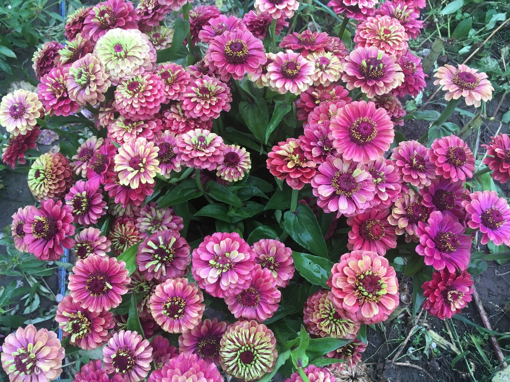 Queen Lime Red Zinnias