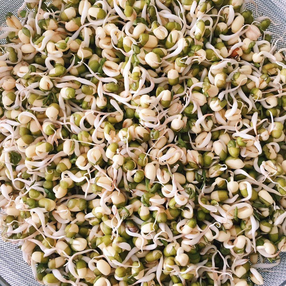 Mung bean sprout babies all grown up and ready to be enjoyed.