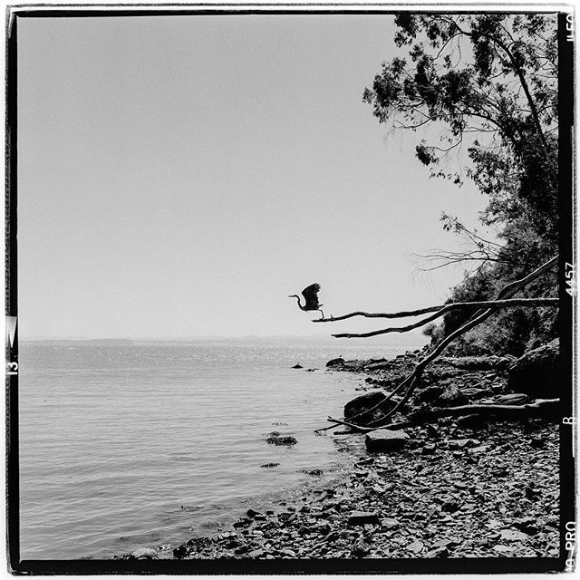 "LIFE SQUARED - ""taking flight"" © 2018 Peter DaSilva. #bird #takingflight #heron #shoreline #liftoff #trees #sfbay #120 #ilford #delta400pro #bw #film #fullframe #rolleiflex #3.5e3 #filmisnotdead #ilfordphoto #filmlover #6x6 #analog #nophotoshop #filmphotographer #pdsphoto #peterdasilva #rolleiclub #analogueposse"