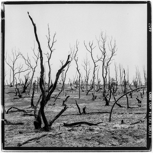 "LIFE SQUARED - ""total burn through - CARR FIRE - Redding, CA"" © 2018 Peter DaSilva. #wildfire #totalburnthtough #carrfire #redding #globalwarming #devistation #burned #trees #newnormal #120 #ilford #delta400pro #bw #film #fullframe #rolleiflex #3.5e3 #filmisnotdead #ilfordphoto #filmlover #6x6 #analog #nophotoshop #filmphotographer #pdsphoto #peterdasilva #rolleiclub #analogueposse"
