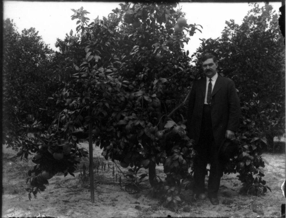 Elmer Harrold in an orange grove in Florida